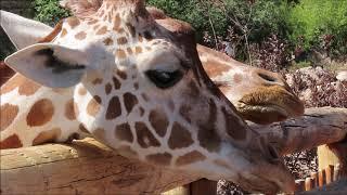 The Resident's Of The Cheyenne Mountain Zoo: Volume Four- Giraffe's
