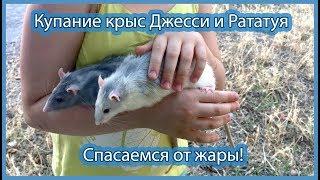 Купание крыс
