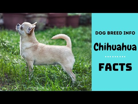 Chihuahua dog breed. All breed characteristics and facts about Chihuahua dogs