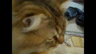 Fany Cat. Золотистая шиншилла.