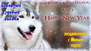 Новогоднее поздравление от владельцев Северных Ездовых собак