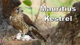 Feeding time for the Mauritius kestrel