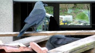 Jackdaws On The Scrounge  -- Waste Not !