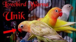 Lovebird warna unik -baru usia 2,5 bulan, bisa jadi blorok,bisa jadi pastel kuning olive