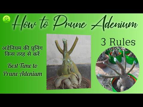 Adenium Pruning /