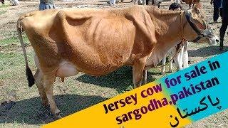 Jersy cow for sale in mushai mandi, Sargodha