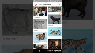 Фотографии кошек породы курильский бобтейл.