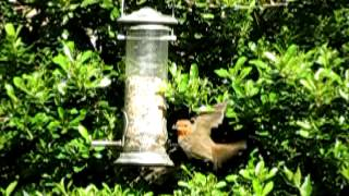 Robin At Our Bird Feeder - Slow Motion