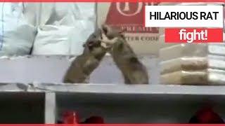 Hilarious Rats Having a