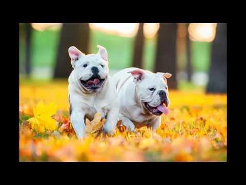 5 Dog Breeds (French Bulldog, Poodle, Chinese Crested Dog, Labrador Retriever,  German Shepherd