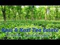 Kazi & Kazi Tea Estate  | Organic Tea Garden | Kazi & Kazi Dairy Farm | Tetulia Panchagarh