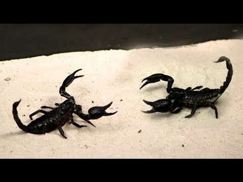 BRUTAL FIGHT OF THE SCORPION AND SCORPION - STING EACH OTHER!
