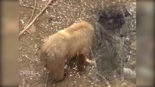 Cinnamon Blonde Beauty Alberta Bear