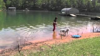 Dog Training, Gus, Aussie Doodle: How To Teach Your Dog To Swim
