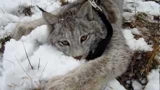 Max Canada Lynx & Snow 1326.MOV