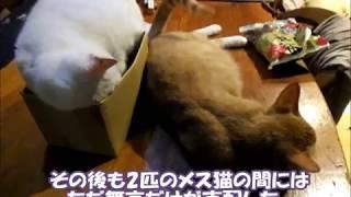 妊娠中のヤンママ猫リンに猫パンチを喰らい、 いじけてしまった 老猫シロ