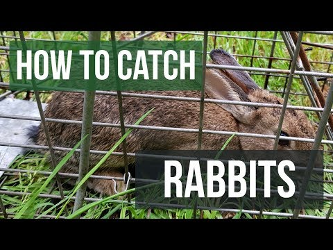 How To Catch A Rabbit With A Live Animal Trap