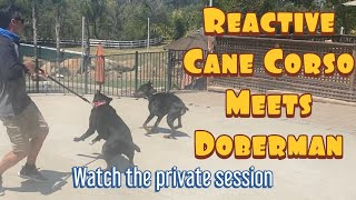 See how to give a proper leash correction when a dog lunges and more tips and tricks for reactivity
