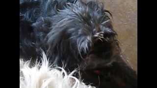 Pugapoo Puppies