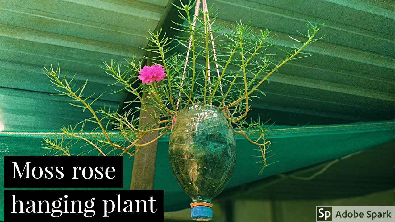 Moss rose hanging plant idea//portulaca plant growing from cutting