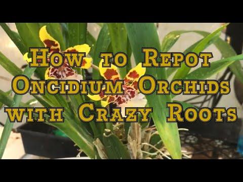 Oncidium Orchids Care: