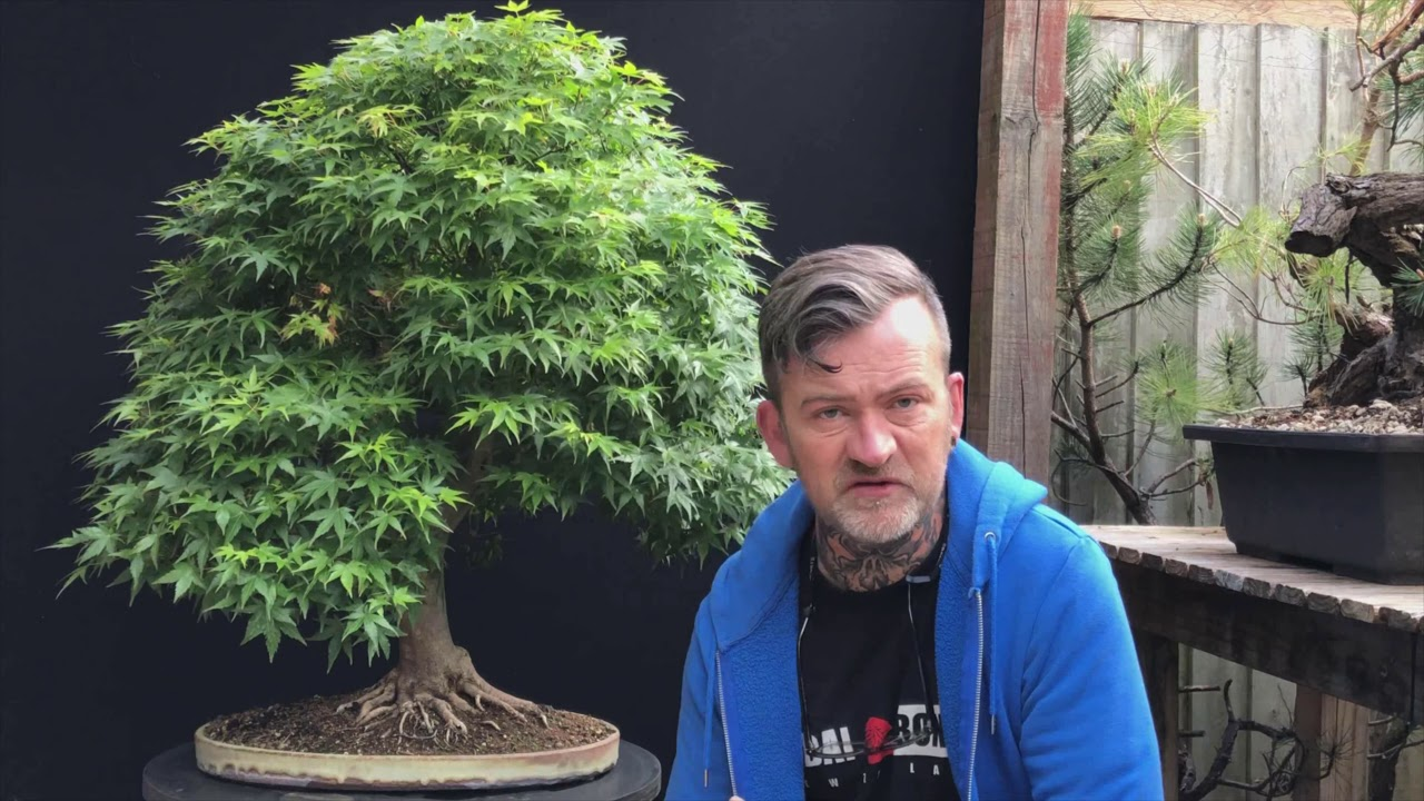 Japanese Maple Bonsai Partial Defoliation Of Outer Leaves Youtube