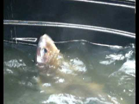 Marine Fish breeding-cannulation in STAC's farm(stac.com.my)