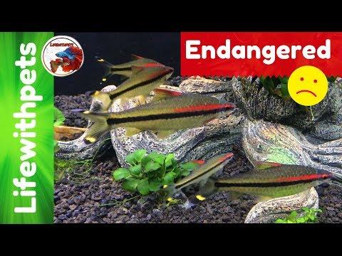 Endangered Fish (Denison Barb)
