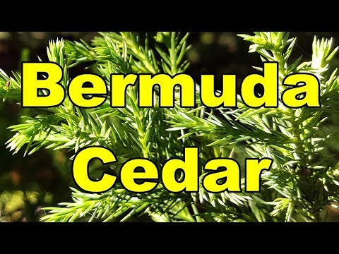Bermuda Bermudiana Cedar 03 Video Juniperus Hd bYfy6v7g