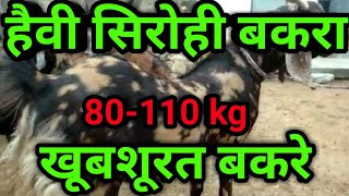 Heavy weight goat in India | heavy weight goat of Sirohi and gujri goat |