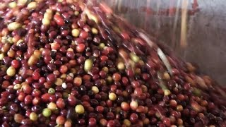 Coffee Essentials – Coffee production and impact on market