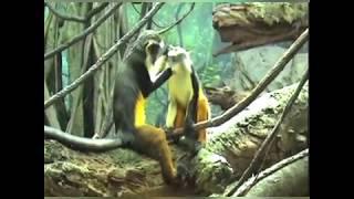 Смешное поведение обезьян