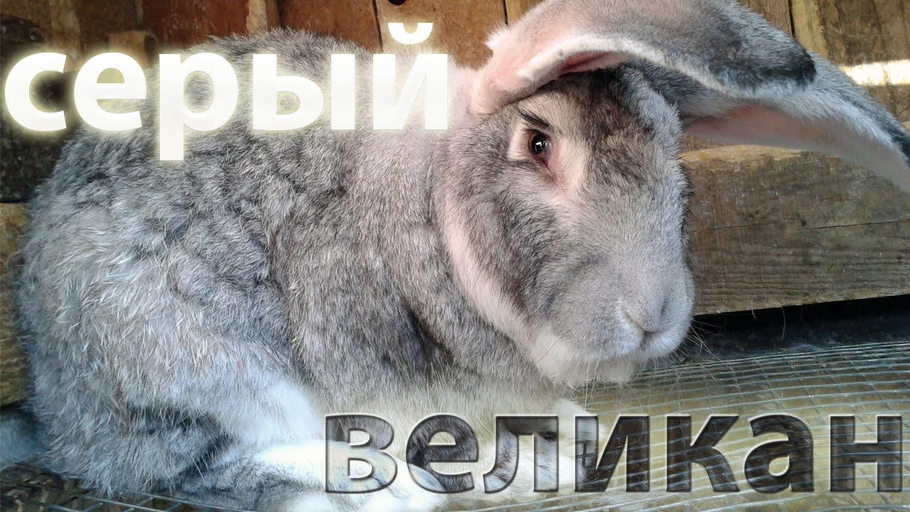 Лучшие большие породы кроликов: Серый Великан.