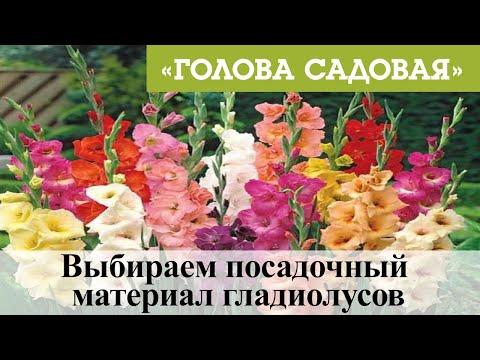 Голова садовая - Выбираем посадочный материал гладиолусов