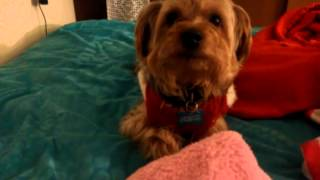 Max (yorkie-poodle Mix) Crying