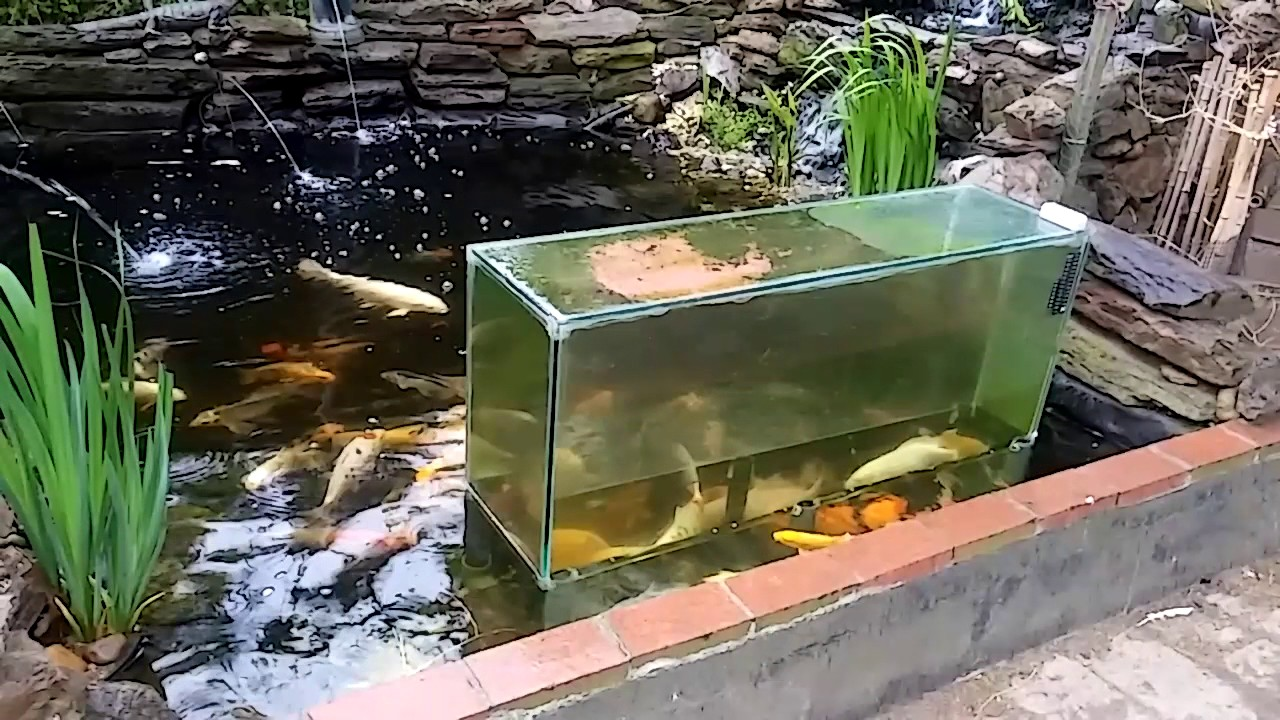 Koi pond w upside down fish tank day 5 may 2017 youtube for Carpe koi aquarium 300 litres