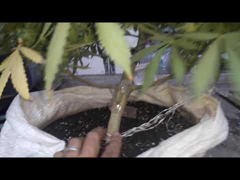 Seguimiento feminizadas floración exterior 43 dias