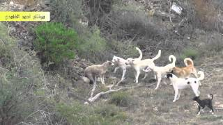 مجموعة كلاب على ذئب واحد