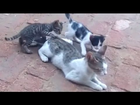 Cat with playing kittens !! Latest video !! Friendly Pets