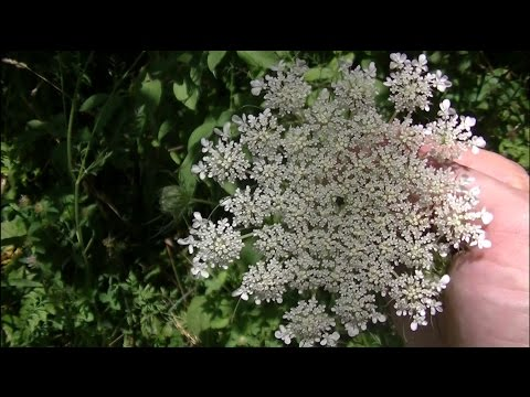 36 Wild Edibles & Medicinal Plants In 15 Minutes