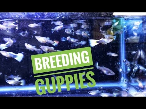 Breeding Guppies For Profit in 55 Gallon Fish Tank