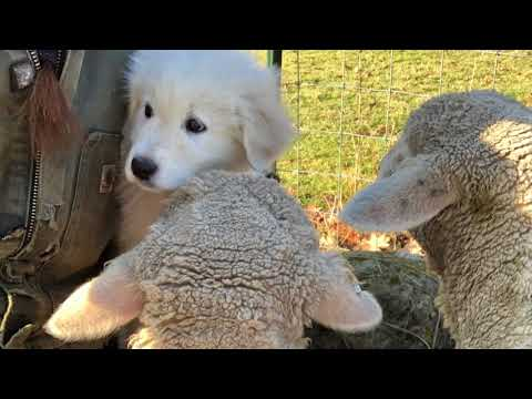 Moses the Maremma pup's first day with the lambs
