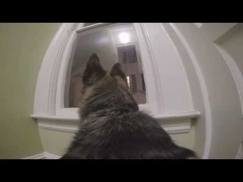 GoPro on a German Shepherd left home alone