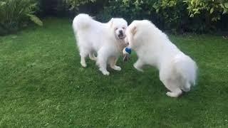 Собаки породы САМОЕД делят игрушку