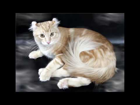 American Curl Cat and Kittens   History of the American Curl Cat Breed