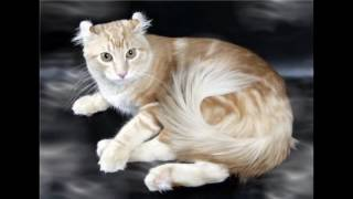 American Curl Cat and Kittens | History of the American Curl Cat Breed