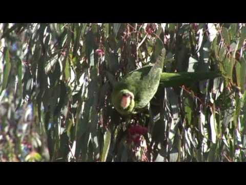 Long Beach Parrots 1-14-10