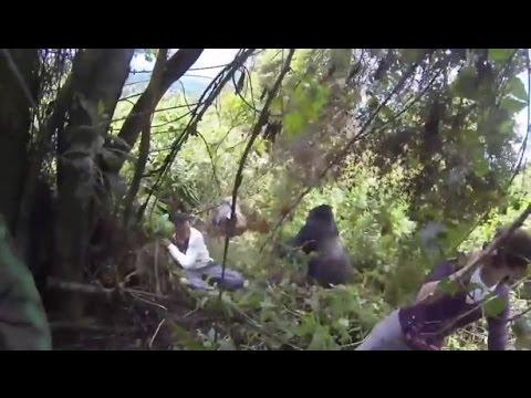 Silverback Gorilla Attacks Tourists