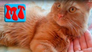 про кота, видео о моем домашнем коте Персике, который любит жить дома и не ходит на улицу#134