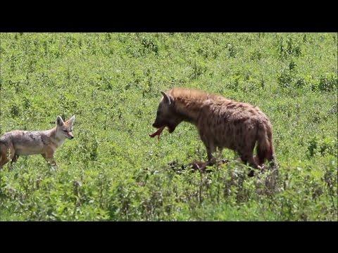 Hyena eating new born buffalo calf alive (narrated)